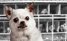 This is #Teddy and he's a puppy mill survivor. He spends most of his time educating people about the horrors of puppy mills.  Please LIKE and follow his facebook page ... and SHARE!  Click here: www.facebook.com/teddybearburchfield