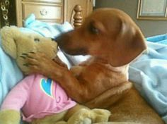 And like you've never practiced kissing with your teddy bears before?!? - photo via Crusoe the Celebrity Dachshund fb page
