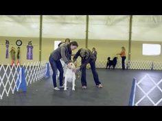 Retriever Life - Misha Abbenhouse Dog Conformation Training 1st Class
