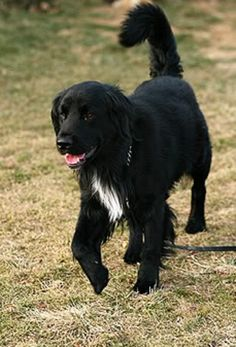 Most current No Cost Border Collies golden retriever Popular The Line Collie hails in the borderlands associated with He uk in addition to Scotland (hence the actual ident. Collie Puppies, Yorkie Dogs, Large Dog Breeds, Large Dogs, Springer Spaniel, Cocker Spaniel, Golden Retriever Cross, I Love Dogs, Cute Dogs
