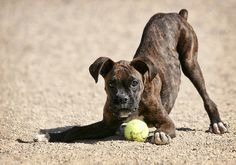 Boxer Puppy...awww this looks just like my Rocky did when he was a pup