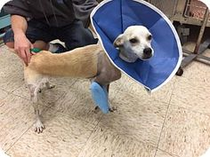 New York, NY - Terrier (Unknown Type, Medium) Mix. Meet Mina a Dog for Adoption.Mina was rescued from Puerto Rico. She is a 1 year old terrier blend female who weighs 16 pounds