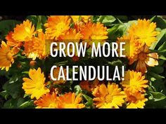 Calendula is a mood-lifter, medical salve, and edible flower in all in one! See how to grow calendula and calendula varieties. Deadheading Flowers, Gardening Tips, Flower Gardening, Flowers Garden, Cut Flowers, Garden Plants, Planting Marigolds, Front Yard Plants, Old Farmers Almanac