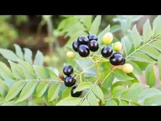 Curry Leaf Propagation, Pruning, Repotting & Harvest - in 4K - YouTube
