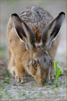 I rabbit & hare l Hare Pictures, Wild Animals Pictures, Animals Images, Nature Animals, Animals And Pets, Cute Animals, Mystical Animals, Wild Rabbit, Jack Rabbit