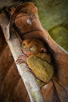 Tarsier Via https://www.facebook.com/pages/Allô-le-Monde/359222010846231