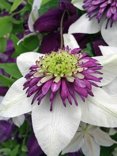 Clematis Florida \'Viennetta\' ........................................ I don\'t usually do the self promotion thing - yet I\'m amazed at how many repins this has had while there are thousands more flowers on my The Earth Laughs in Flowers board au.pinterest.com/...