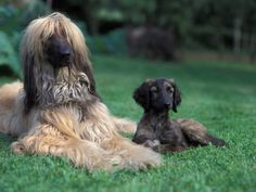 Afghan Hound #Dogs #Puppy