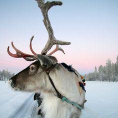 Lapland Reindeer.   Activities in Saariselkä http://www.saariselka.com/individual/activities/