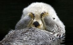 A shy sea otter hides from the camera