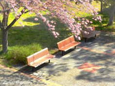cherry blossom and bench