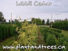 Lobbii Cedar Thuja plicata excelsa 'Lobbii Ornamental variegated western red cedar