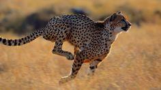 Wallpaper of Cheetah