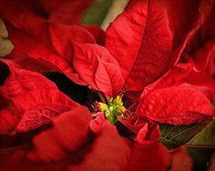 Featured Art - Red Poinsettia 2 by Jai Johnson