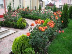Хвойники и розы у дорожки