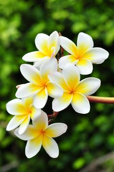 Plumeria: the sweetly scented flower of the tropics. Here, we treasure it, over there, they put them in drinks.
