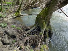 Le rôle des racines des arbres de berges
