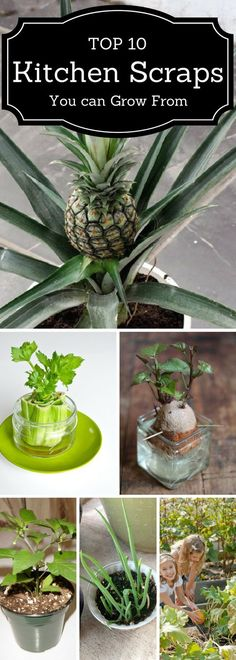 DIY. Use the leftover scrapes of food to grow new food right in your own kitchen! Kitchen Gardening, Gardening Hacks, Organic Gardening, Plants In Kitchen, Veggies Kitchen, Indoor Vegetable Gardening, Container Gardening, Organic Fertilizer, Grow Food