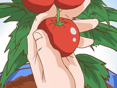 Crisp, juicy tomatoes are a favorite among many container gardeners. Tomatoes require large pots to grow in and usually need the support of a tomato cage or other staking system in order to reach their full potential. Additional...