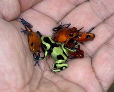 Amazing poison dart frogs at La Fortuna