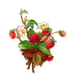 Vintage stawberries. Antique Images blog.