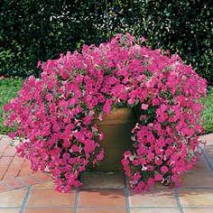 Petunia_tidal_wave_hot_pink