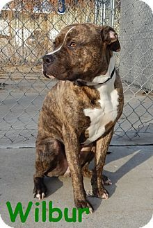 American Pit Bull Terrier Mix Dog for adoption in Erie, Pennsylvania - Wilbur