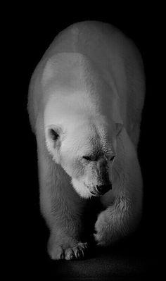 Beautiful Polar Bear! Bear Pictures, Animal Pictures, Beautiful Creatures, Animals Beautiful, Photo Ours, Animals And Pets, Cute Animals, Love Bear, Mundo Animal