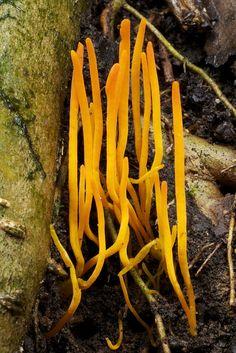 Orange Yellow Coral Fungi