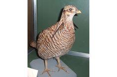 Tetraz (Tympanuchus cupido cupido) - animal extinto