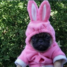 Pug in a pink bunny costume