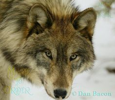 Wolf at Lakota. Photography by Dan Bacon Founder of Lakota Wolf Preserve. Follow us @madetoorderjewelers on Instagram, Tumblr & Facebook for more of Dan's photography. Stop in at our store to see and purchase prints. Made To Order 44 Main Street, Clinton, NJ