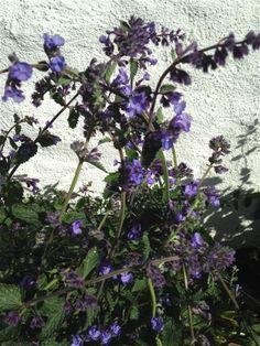Kattemynte (Nepeta cataria) - en høy variant - A high variant of catnip :) 27.5.2014 / IJ