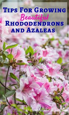 Rhododendron Care: How To Grow Beautiful Rhododendrons And Azaleas Learn How Simple Rhododendron Care Actually Is With These Easy Tips On How To Grow Beautiful Azalea And Rhododendron Bushes. Garden Shrubs, Flowering Shrubs, Shade Garden, Garden Plants, Azaleas Landscaping, Pruning Azaleas, Ericaceous Plants, Pruning Plants, Garden Pond