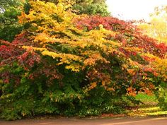 ornamental trees. Persian Parrotia (Persian Ironwood/Parrot Tree) (Parrotia Persica).  A stunning specimen tree.  unfolds as reddish-purple young leaves, maturing to a lustrous, dark green through the summer, vivid yellow, burnt orange, and deep, pure scarlet in autumn.  grown for distinctive spreading habit, brilliant autumn foliage,showy exfoliating bark, curious late winter ruby red flowers.  sun/part sun, ht: 15-30 ft, growth rate: slow-medium, zones 4b-8