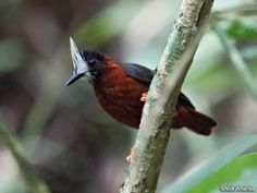 The White-plumed Antbird (Pithys albifrons) is a species of insectivorous bird in the Thamnophilidae family. It is marked by deep red-brownish plumage, black wings, and a black head with a bright-white feathered mask. It is found in Brazil, Colombia, Venezuela, Ecuador and Peru; also the Guianas: Guyana, Suriname, and French Guiana.