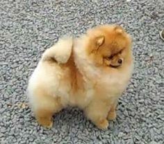 Chriscendo Continuum Pomeranians