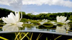 White water lilies on the Bosherston Lakes, Stackpole, Pembrokeshire © Lisa Whitfield