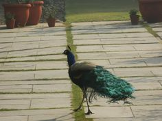 Early morning peacock spotting at Teen Murti Bhavan