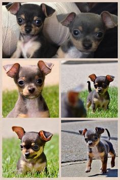 Via I Love Chihuahuas -fb, they are so cute when puppies and their ears are still a little floppy.