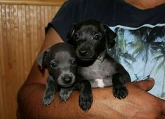 Available italian greyhounds puppies - see more information on our site. iggy pyppies, puppy, puppies for sale, italian greyhound, iggies, левретка, щенки левретки, щенок левретки, charcik wloski,charcik włoski,iggy,iggi, piccolo levriero italiano, italiensk vinthund, italiensk mynde, galgo italiano, petit levrier italien, levrier italien, italienisches windspiel, italsky chrtik,   이탈리안그레이하운드, 아이쥐, pli, sighthound, windspiel, vinthund Italian Greyhound Puppies, Greyhounds, Pli, Black Boys, Puppies For Sale, Italian Greyhound, Black Kids, Black Guys