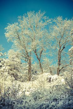 """Winter Trees"" ©Lena Auxier"