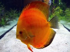 One of my discus fish