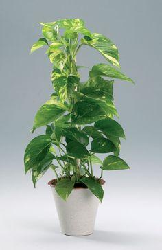 52 Ideas for plants interieur tropicale Epipremnum Pinnatum, Unique Garden Decor, Plant Tattoo, Low Light Plants, Watercolor Plants, Succulent Gardening, Interior Plants, Garden Care, Plant Needs