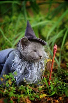 """""""YOU SHALL NOT PASS!"""" Gandalf the tiny gray kitten, born with no eyes, is getting ready to head out to his new home in Michigan."""
