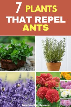 7 Incredible Plants that Repel Ants To protect your garden from ants naturally, I would like you to sow top 7 plants that repel ants.To protect your garden from ants naturally, I would like you to sow top 7 plants that repel ants. Insect Repellent Plants, Mosquito Repelling Plants, Insect Pest, Plants That Repel Ants, Repel Mosquitos, Gardening For Beginners, Gardening Tips, Gardening Supplies, Succulents Garden