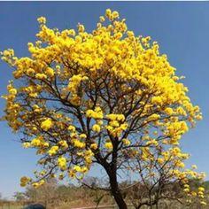 Ipê Amarelo...lindo!