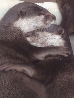 Lovely otter cuddles  Source:  https://twitter.com/enomichupu/status/616841228420689921