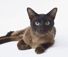 Tonkinese Cat - Smartest Cat Breed