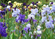 Giardino degli Iris Firenze Iris Florence's Garden